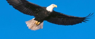 eagle-soaring-high.jpg